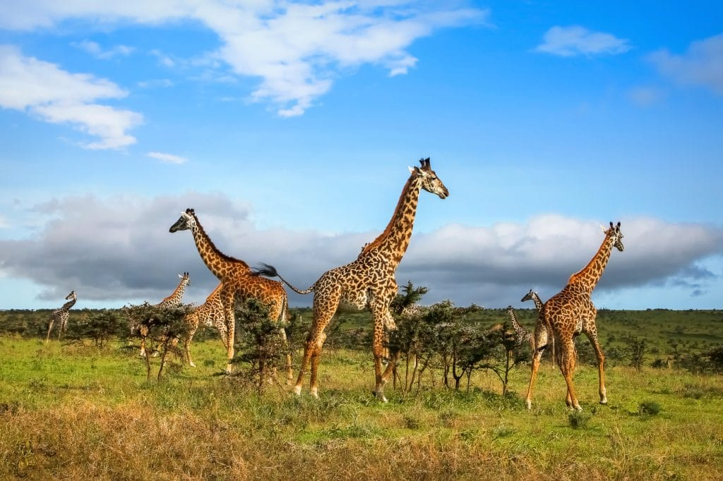 A herd of giraffes in the African savannah . Serengeti National Park . Tanzania.